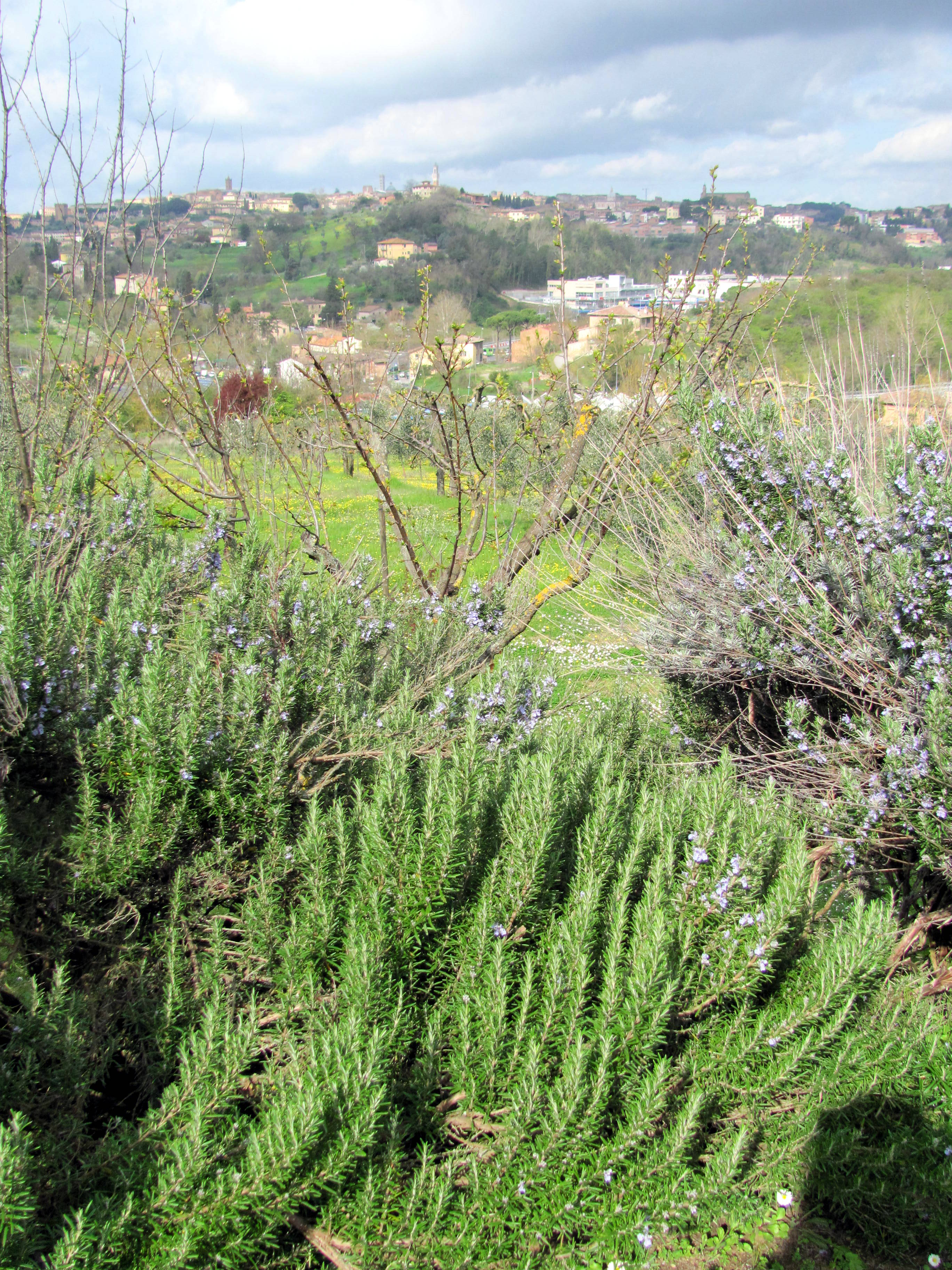 how to grow rosemary in the house